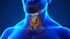 人的甲状腺解剖学-医疗X-射线扫描 皇族释放例证