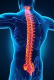 人的男性脊椎解剖学 向量例证