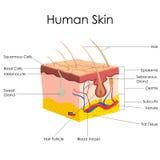 人的皮肤解剖学 向量例证