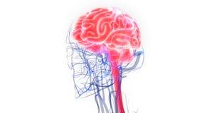 人的神经系统脑子解剖学的中央机构 向量例证