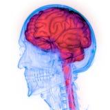 人的神经系统脑子解剖学的中央机构 皇族释放例证