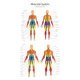人的肌肉的例证 女性和男性身体 健身房训练 在前后看法 肌肉人解剖学 免版税库存照片