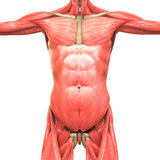 人的肌肉身体解剖学先前视图 库存例证