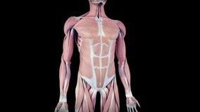 人的肌肉系统 向量例证