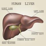 人的肝脏解剖学的例证 免版税库存照片