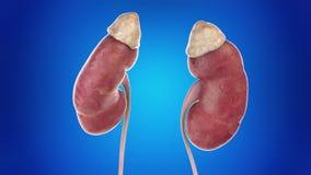 人的肾脏 向量例证