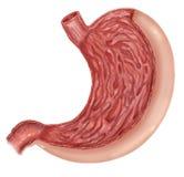 人的胃解剖学图的例证  库存照片