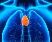人的胸腺解剖学 图库摄影