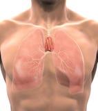 人的胸腺解剖学 免版税库存照片