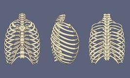 人的胸廓骨骼解剖学组装 库存照片