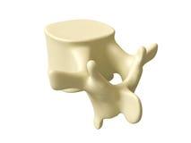 人的脊椎 库存图片