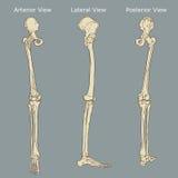 人的腿解剖学 免版税库存图片