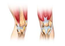 人的膝盖切面图例证。解剖学图象。 图库摄影