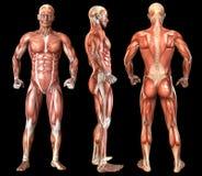 人的解剖学充分的身体肌肉 免版税库存照片