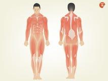 人的解剖学前方和后部美好的设计  免版税库存图片