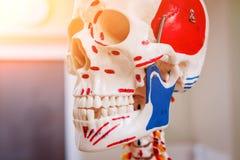 人的解剖学模型 医疗办公室 背景 库存照片