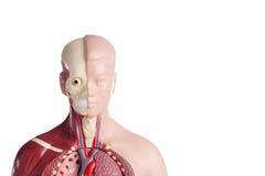 人的解剖学模型 免版税图库摄影