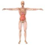 人的解剖学骨骼和器官 免版税库存照片