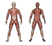 人的解剖学-男性肌肉 图库摄影
