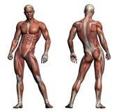 人的解剖学-男性肌肉 免版税库存图片