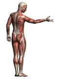 人的解剖学-男性肌肉 库存图片