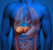人的解剖学 肝脏 免版税库存图片