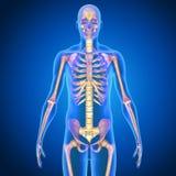 人的解剖学 免版税库存图片