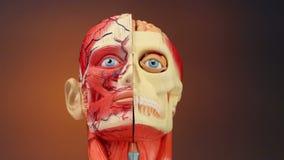 人的解剖学- HD 免版税库存照片