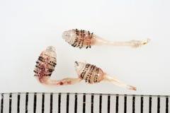 人的马蝇幼虫 库存照片