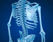 人的骨骼、脊椎和肩胛骨 医疗上准确例证 免版税库存照片