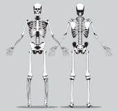 人的骨骼的前面和后面看法 免版税库存照片