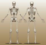 人的骨骼的前面和后面看法 库存图片
