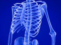 人的骨骼:乳房胸口医疗上准确3D例证 库存图片