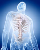 人的骨骼-胸部 免版税库存照片