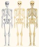 人的骨骼 免版税库存照片