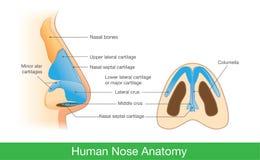 人的鼻子解剖学  库存例证
