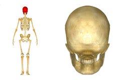 人的头骨后面 库存照片