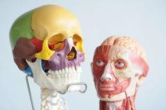人的头骨和头 库存图片