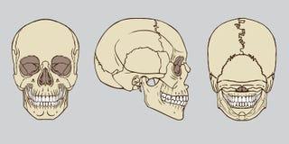 人的头骨解剖学组装传染媒介 免版税图库摄影