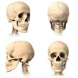 人的头骨,四个看法。 免版税库存照片