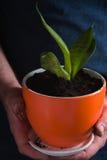 人种植了与绿色叶子的一朵花在罐 库存图片