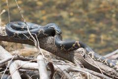 黑人竟赛者蛇或Schrenck的吃鼠的蛇 免版税库存照片