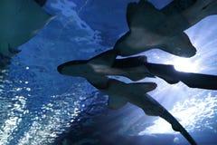 人群绞口鲨科 库存图片