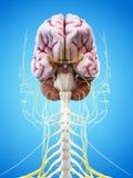 人脑和顶头神经 库存例证