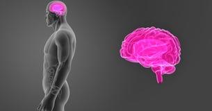 人脑徒升有器官侧面视图 库存图片