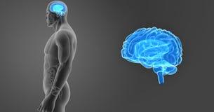 人脑徒升有器官侧面视图 免版税图库摄影
