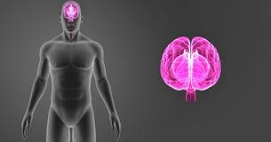 人脑徒升有身体先前视图 免版税库存照片
