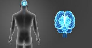 人脑徒升有身体后部视图 库存照片