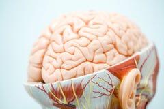 人脑教育的解剖学模型 免版税库存照片