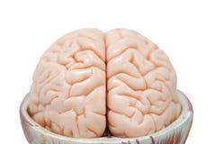 人脑教育的解剖学模型 免版税库存图片